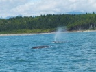b_140_140_15461355_00_images_stories_Nordamerikafotos_kanada-us-bilder_158_Tofino-Whalewatchingtour.jpeg