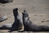 Elephant Seals san-simeon hwy-no1