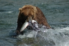 katmai bearviewing