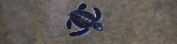 -Sea-Turtle-Conservation-Project_Kosgoda_cr